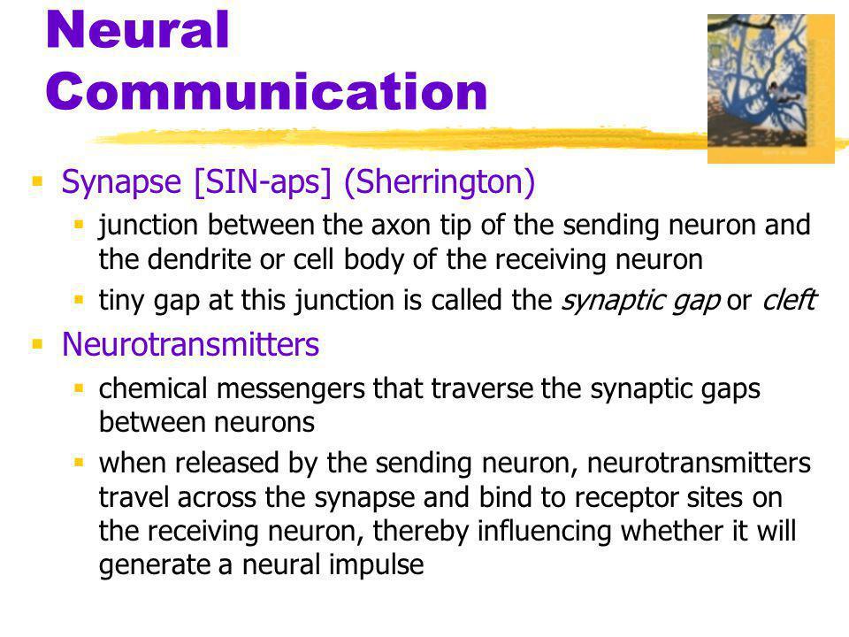 Neural Communication Synapse [SIN-aps] (Sherrington) Neurotransmitters